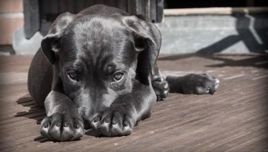 de reden waarom honden een rondje draaien voor ze gaan liggen